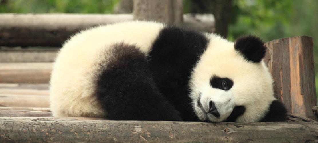 panda-4.2